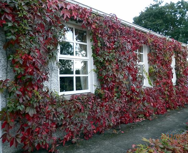 Ivy Covered Cottage Print By Chelle Bell
