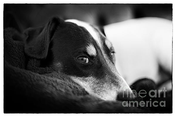 Jack Russell Terrier Portrait In Black And White Print by Natalie Kinnear