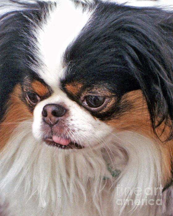 Japanese Chin Dog Portrait Print by Jim Fitzpatrick