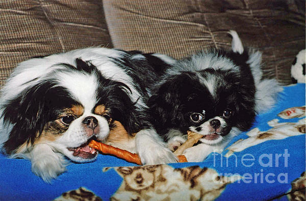 Japanese Chin Dogs Hanging Out Print by Jim Fitzpatrick