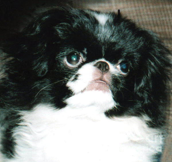 Japanese Chin Puppy Portrait Print by Jim Fitzpatrick