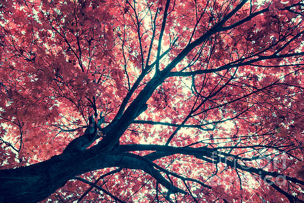 Japanese Maple - Vintage Print by Hannes Cmarits