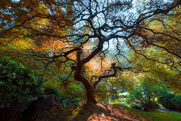 Mike Ronnebeck - Japanese Maple