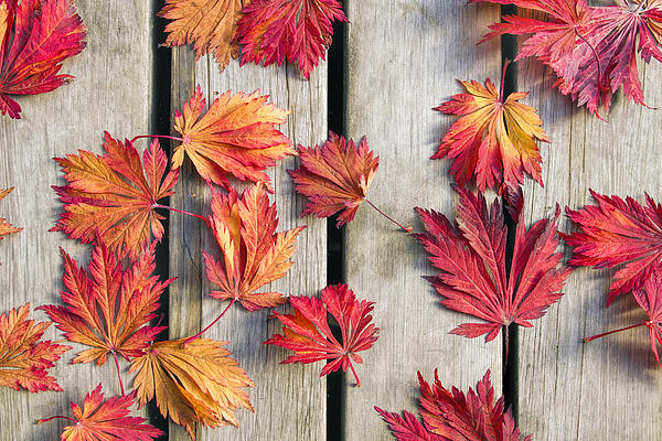 Japanese Maple Tree Leaves On Wood Deck Print by David Gn