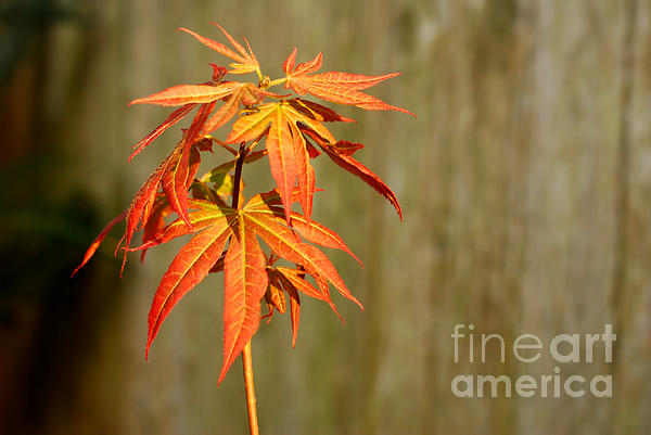 Connie Fox - Japanese Red Maple