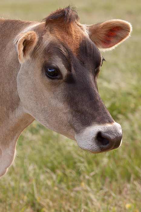Jersey Cow Portrait Print by Michelle Wrighton
