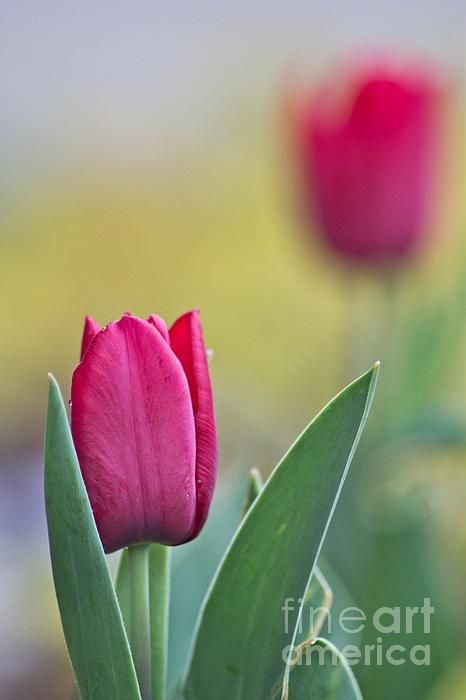 Jerusalem Tulip 2 Print by Joel Loftus
