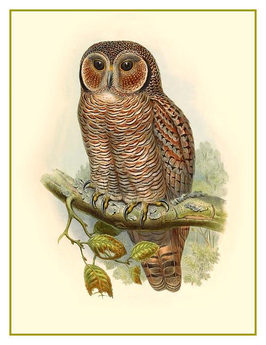 John Gould Owl Print by Gary Grayson