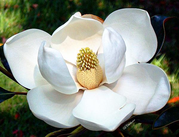 John's Magnolia Print by Barbara Chichester