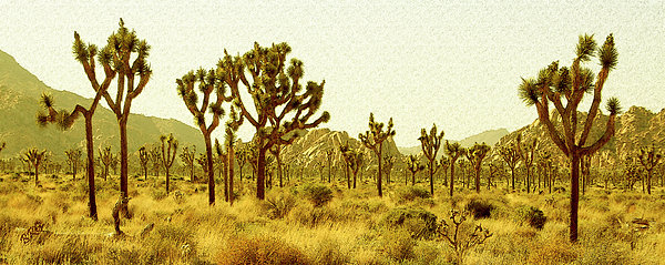 Joshua Tree National Park Photograph