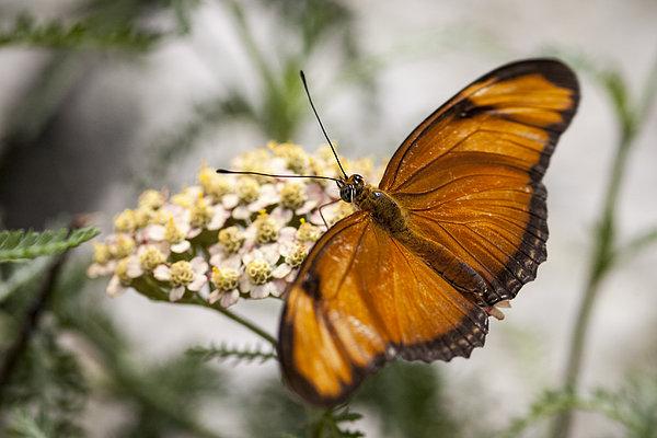 Julia Butterfly Print by Adam Romanowicz