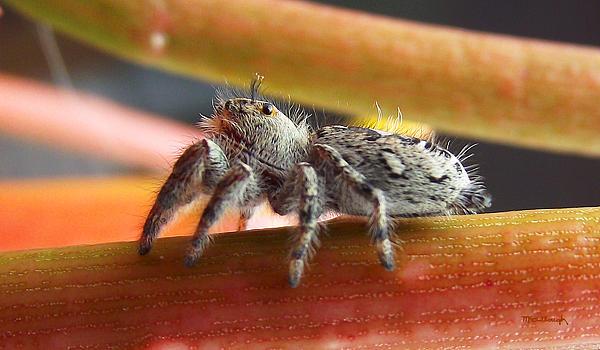 Duane McCullough - Jumper Spider
