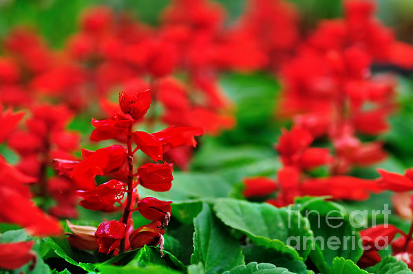 Just Red Print by Kaye Menner