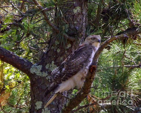 Juvenile Red-tailed Hawk Print by CapeScapes Fine Art Photography