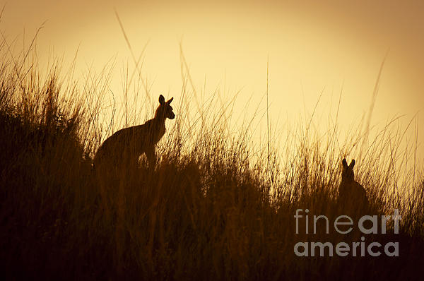 Kangaroo Silhouettes Print by Tim Hester