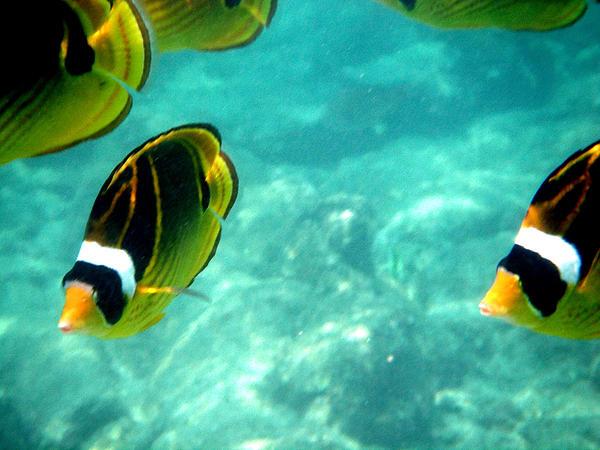 Kikapapu Fish In Ocean Print by Karen Nicholson