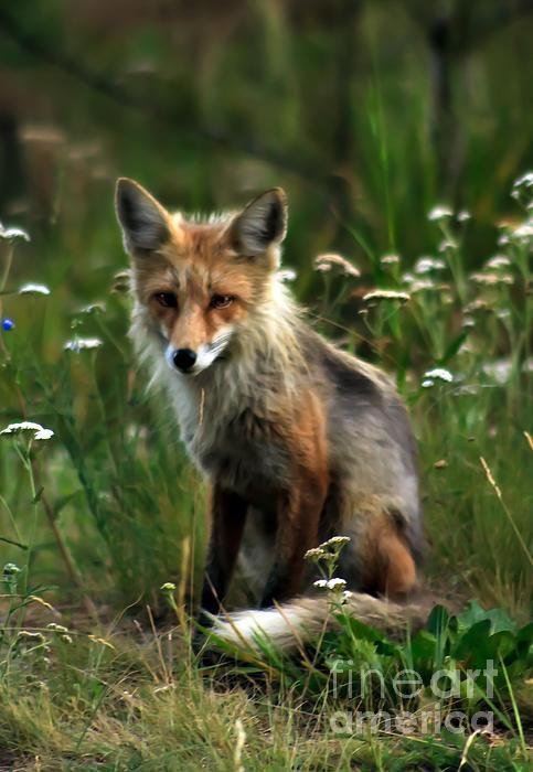 Kit Red Fox Print by Robert Bales