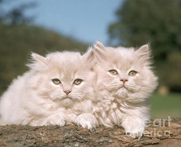 Kittens Print by Hans Reinhard