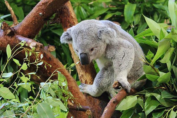 Cynthia Guinn - Koala