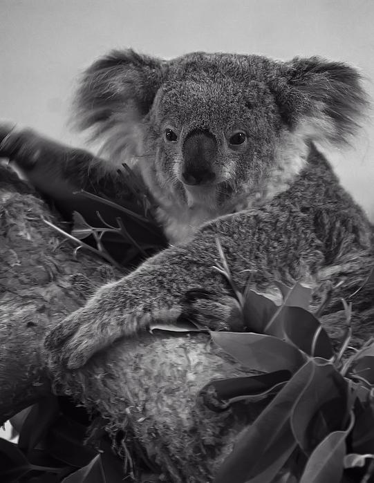 Koala Print by Chris Flees