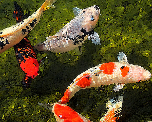 Koi feeding by timothy bulone for Koi feeding