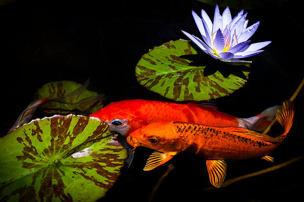 Koi play in the pond by priya ghose for Playing koi