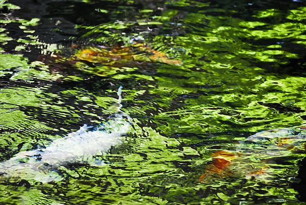 Koi Pond Print by Christi Kraft