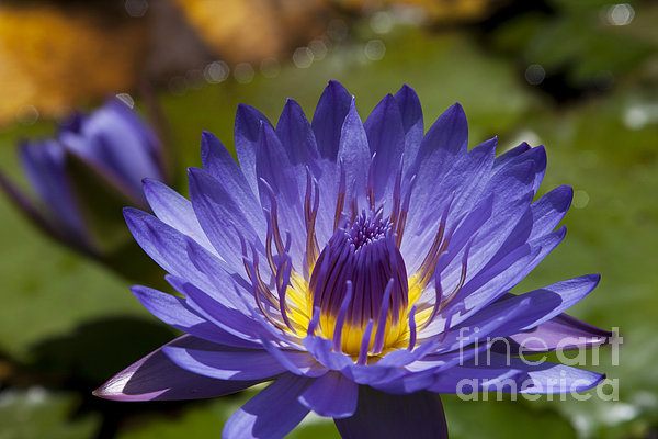 La Fleur De Lotus - Star Of Zanzibar Tropical Water Lily Print by Sharon Mau