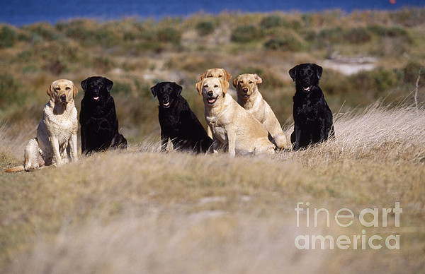 Labrador Dogs Waiting For Orders Print by Chris Harvey