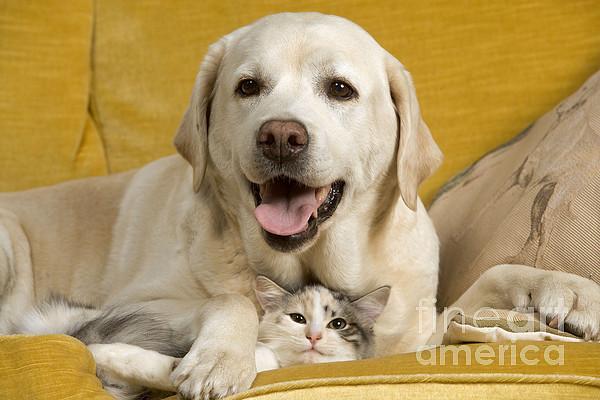 Labrador With Cat Print by Jean-Michel Labat
