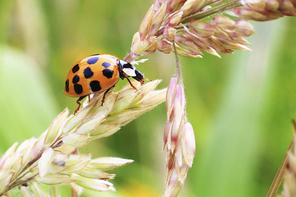 Lady Bug On A Warm Summer Day Print by Andrew Pacheco