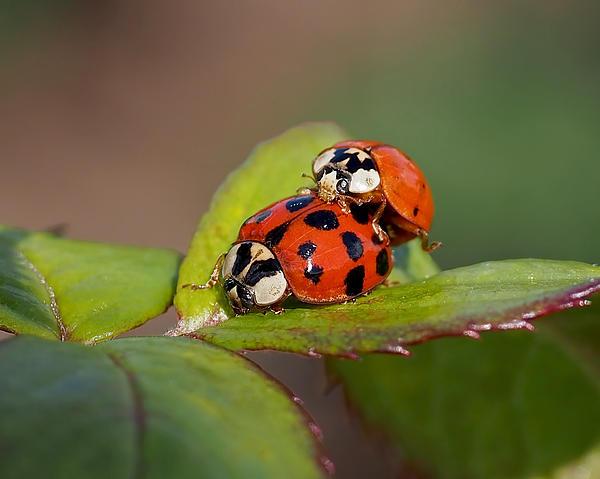 Rona Black - Ladybird Coupling