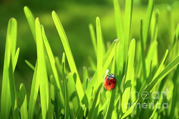Ladybug In Grass Print by Carlos Caetano