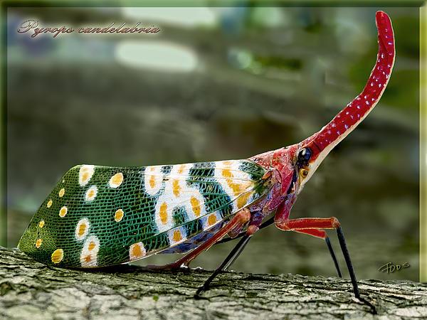 Roy Foos - Lantern Bug Pyrops candelabria