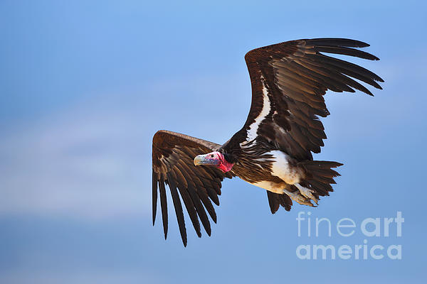 Lappetfaced Vulture Print by Johan Swanepoel