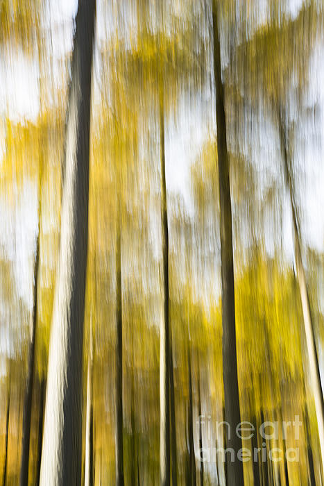 Larch In Abstract Print by Anne Gilbert