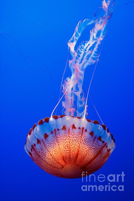 Large Colorful Jellyfish Atlantic Sea Nettle Chrysaora Quinquecirrha Print by Jamie Pham