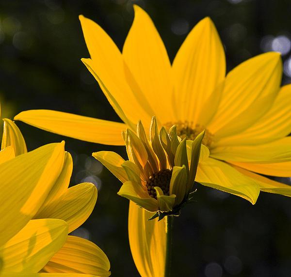 Michael Friedman - Late summer Blooms