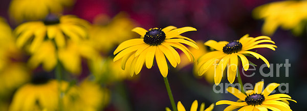 Late Summer Rudbeckia  Print by Tim Gainey