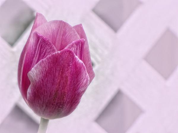 MTBobbins Photography - Lattice Tulip