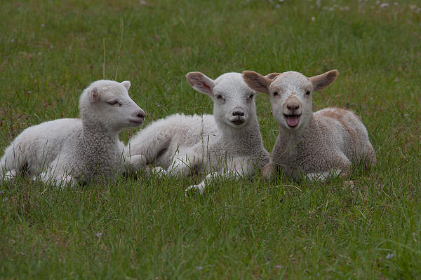 Laughing Lamb Print by Richard Baker