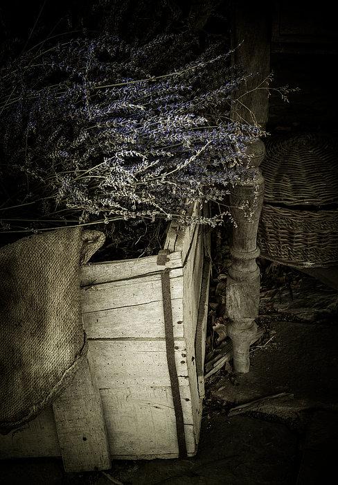 Lavandula Print by Amy Weiss