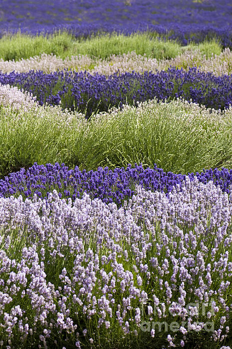 Lavender Bands Print by Anne Gilbert