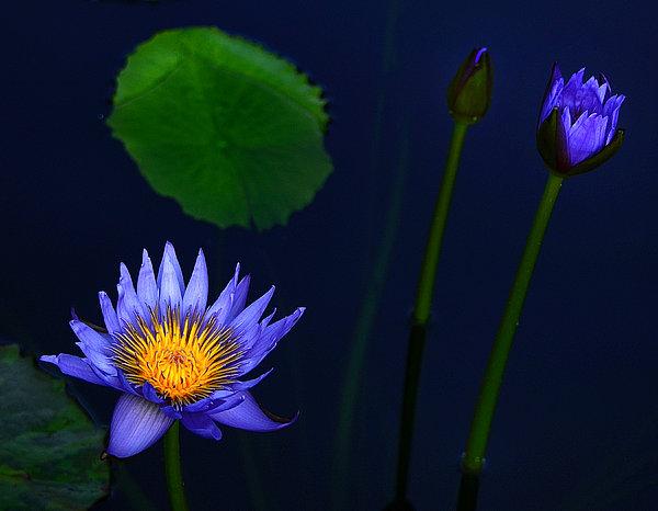 Lavender Blue  Print by Julie Palencia