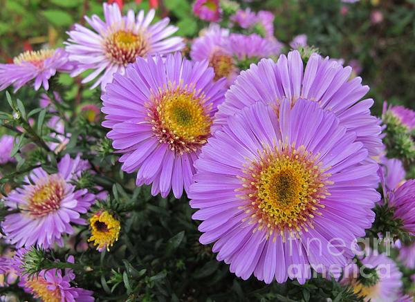 Arlene Carmel - Lavender Flowers