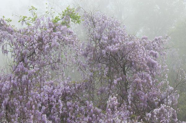 Leslie Kirk - Lavender Fog