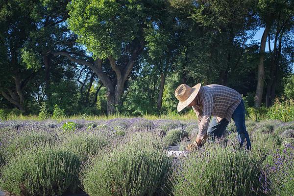 Lavender Harvest Print by Mary Lee Dereske