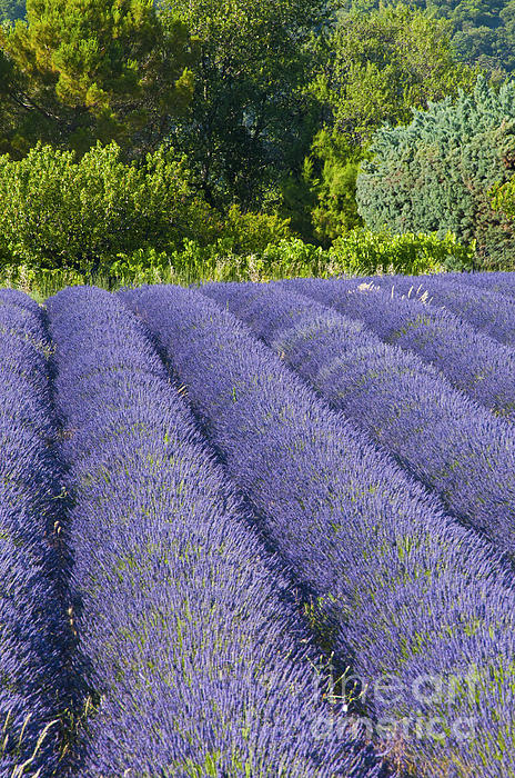 Lavender Rows Print by Bob Phillips