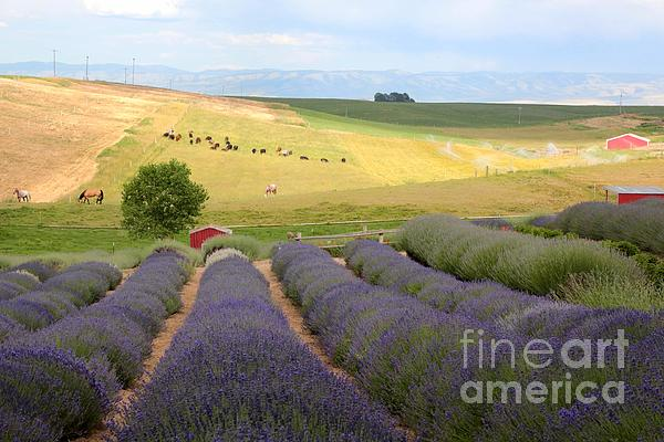 Lavender Valley Print by Carol Groenen