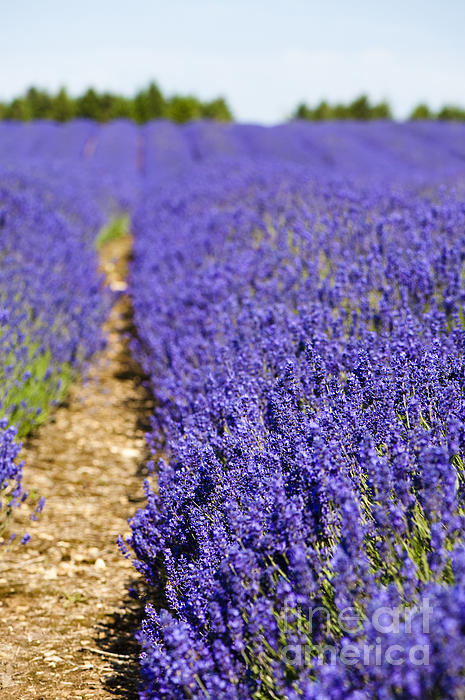 Lavender's Blue Print by Anne Gilbert